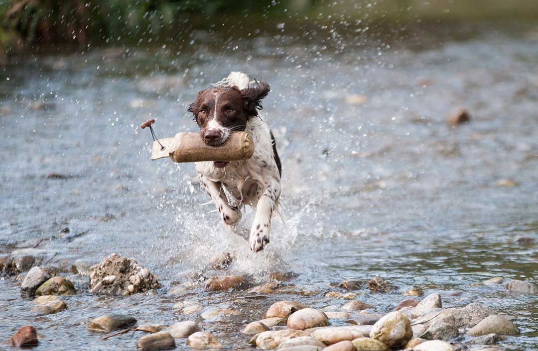 Dog running in stream